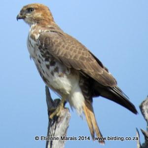 Red-necked Buzzard - Buffalo Reserve, Namibia 28 July 2014